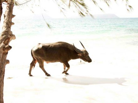 Buffalo-on-Koh-Rong-Island-in-Cambodia