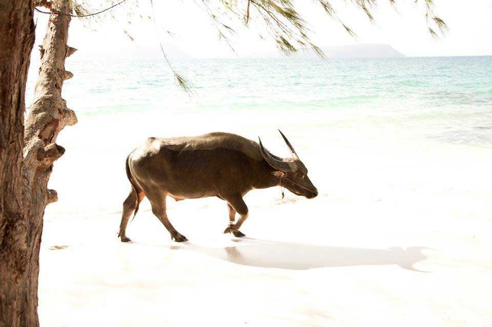 Buffalo-on-Koh-Rong-Island-in-Kambodžassa