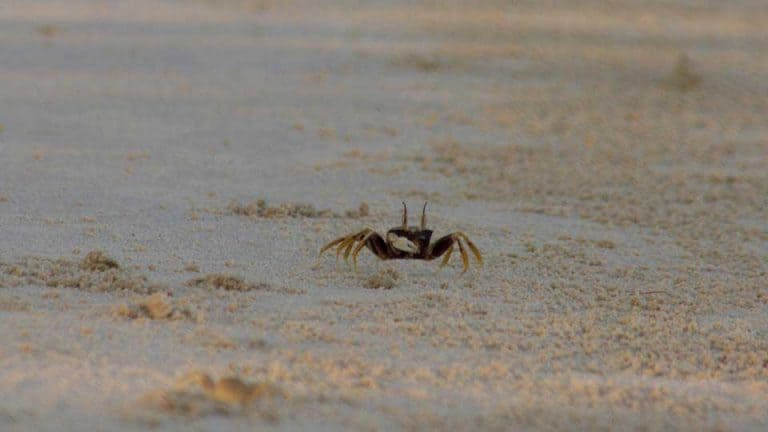 Crab-on-Koh-Rong-Island-in-Cambodia