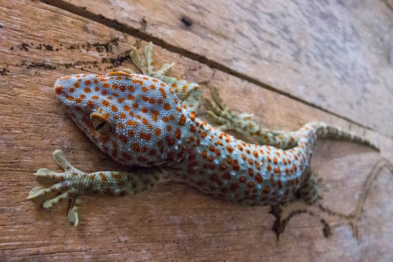 Gecko on Koh Rong Island in Cambodia