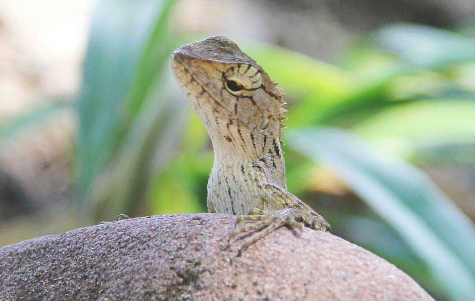 Iguana on Koh Rong Island in Cambodia