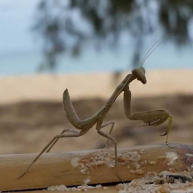 A Mantis on Koh Rong Island