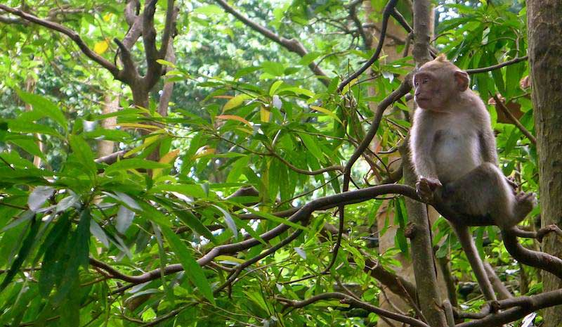 Monkey on Koh Rong Island